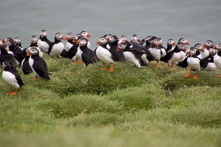 En las islas Westmann, pueden ver estas criaturas magníficas, los frailecillos. Foto de Outconsumer.