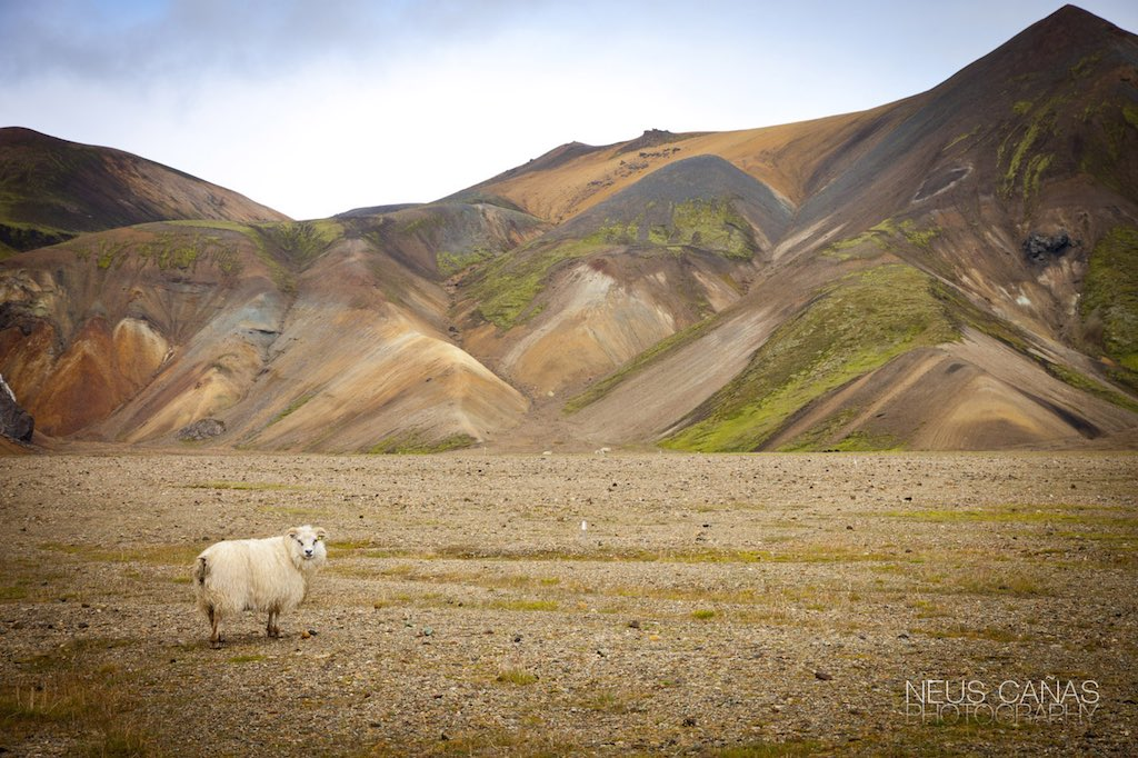 Las tierras altas de Landmannalaugar no están totalmente despobladas. Foto de ©Neus Cañas.