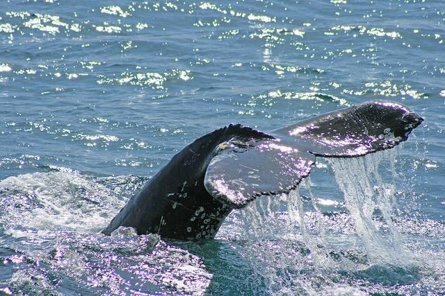 Los barcos utilizados a veces son antiguos pesqueros reconvertidos en barcos de avistamiento de ballenas. Foto de Göran Ingman.