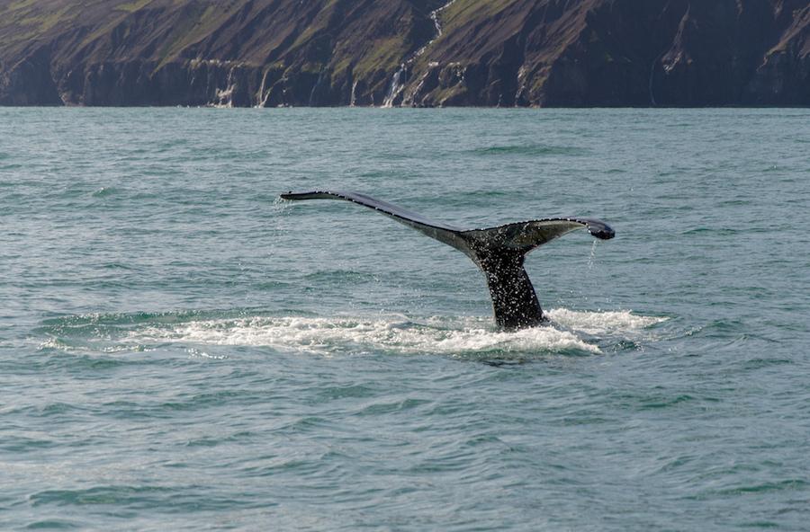 islandia-ballenas-excursiones